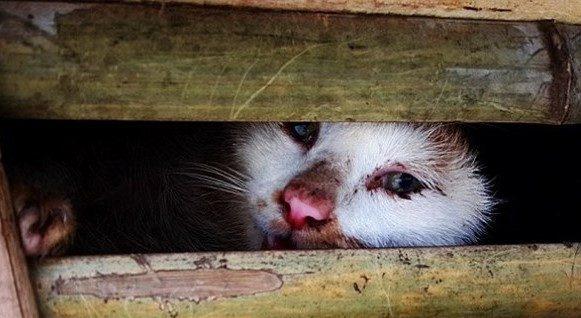 Bệnh giảm bạch cầu ở mèo ( FPV ) gây tử vong rất nhanh chóng