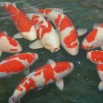 Bệnh virus ăn thịt, bệnh lở loét trên người cá Koi