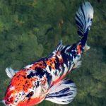 Các bệnh thường gặp ở cá Koi