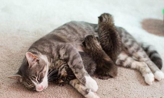 Chăm sóc mèo mẹ chuẩn bị sinh
