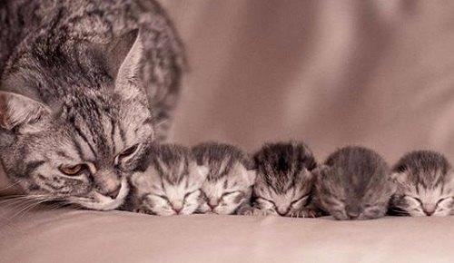 Cách chăm sóc Mèo mẹ trước và sau khi sinh