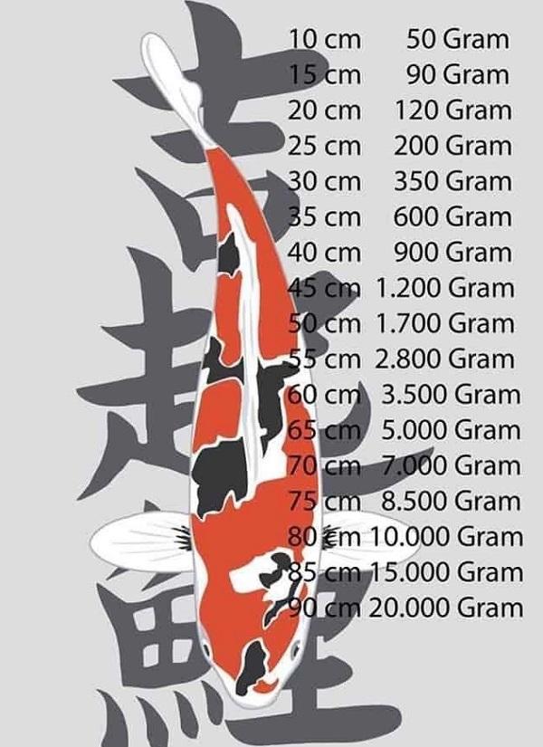 Cho cá Koi ăn đúng cách sẽ giúp kích thước cá đạt chuẩn