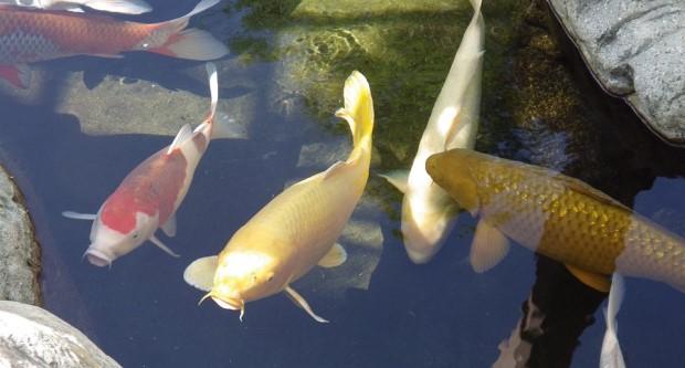 Cần biết trước khi chơi cá Koi