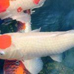 Cách chữa trị kí sinh trùng mỏ neo trên cá koi