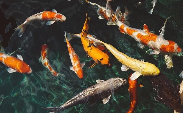 Cá Koi bắt nguồn từ đâu?