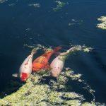 Quá trình lọc hồ cá Koi