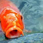 Cách nuôi cá Koi đầy đủ nhất