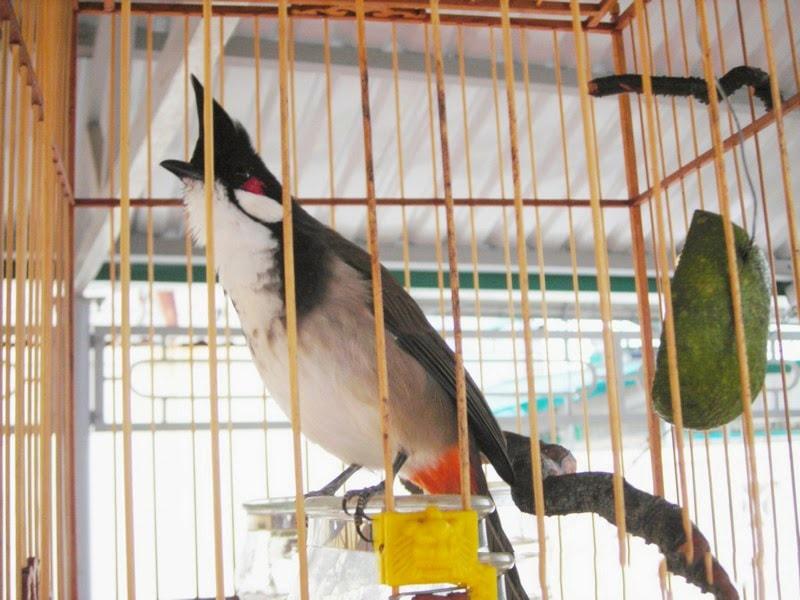 Cách chọn chim chào mào